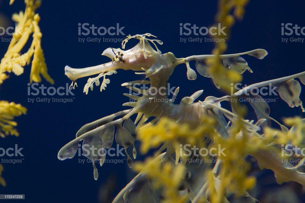 Leafy Seadragon royalty-free stock photo