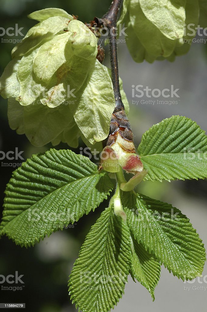 leafy spring growth on elm, Ulmus glabra 'Camperdownii' stock photo