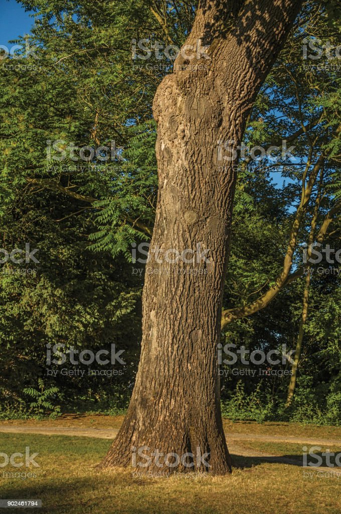 Leafy tree trunk and lawn in a park at sunset in Tielt. stock photo