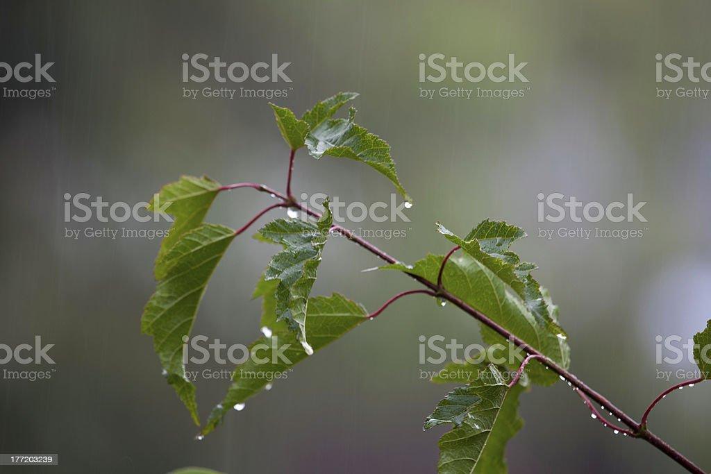 Leafy twig in the rain stock photo