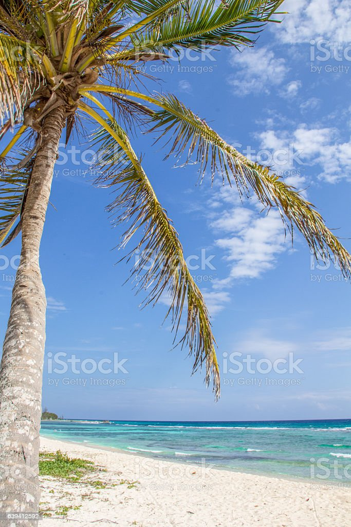 Leaning palm tree in paradisiac sandy beach of the Caribbean stock photo
