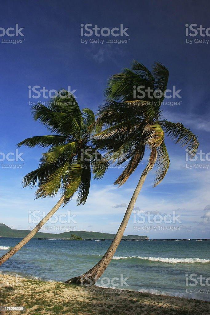 Leaning palm trees at Las Galeras beach, Samana peninsula royalty-free stock photo