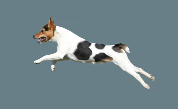 Leap dog terrier breed picture id1038723082?b=1&k=6&m=1038723082&s=612x612&w=0&h= 9zsl6onvzaptts1jnblesmwhqanjltz7tvppdugfm8=