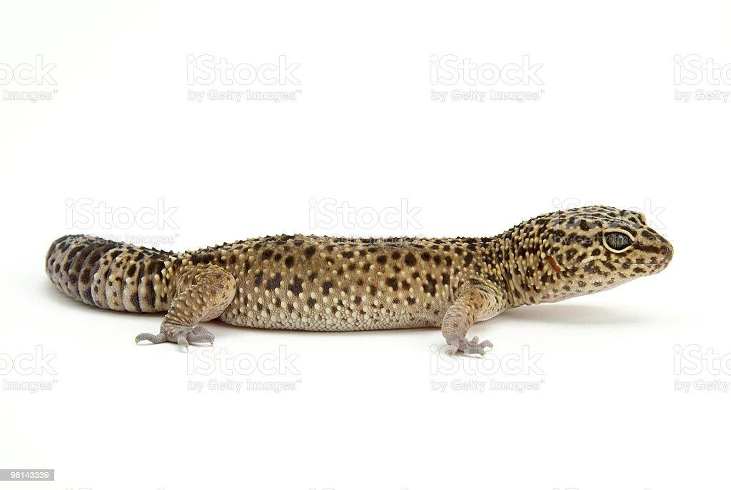 leapard gecko royalty-free stock photo