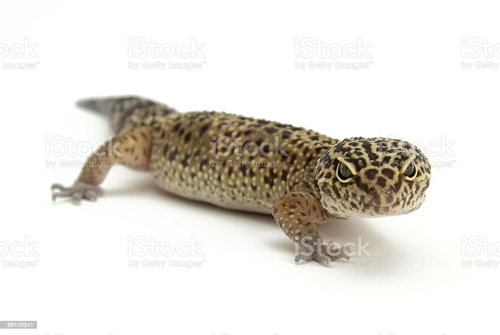 leapard gecko royalty-free stock photo