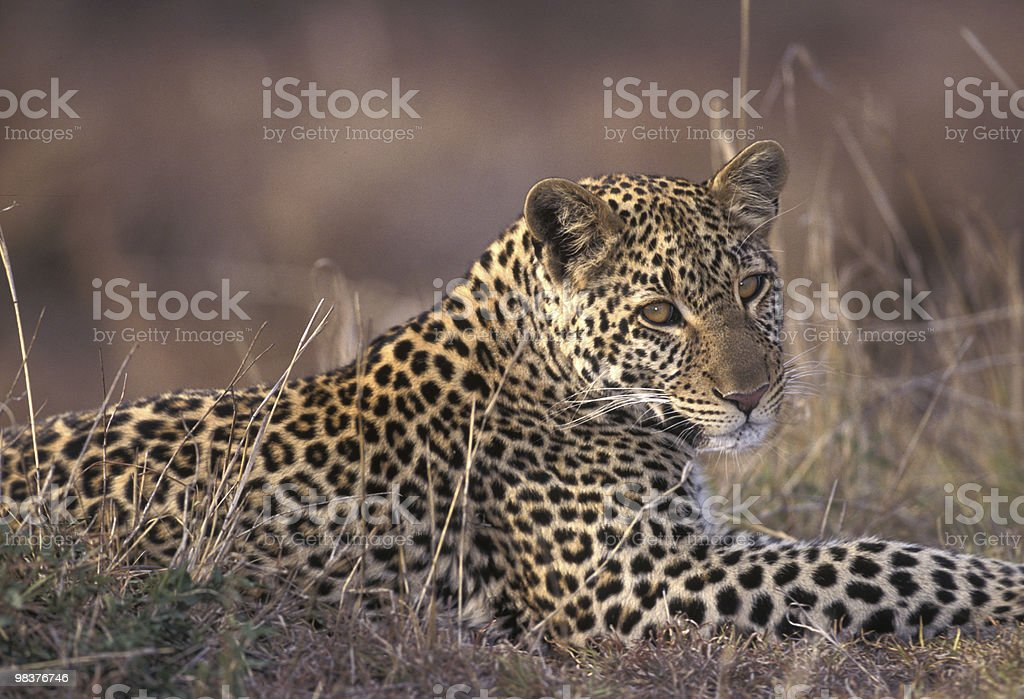 Leapard royalty-free stock photo