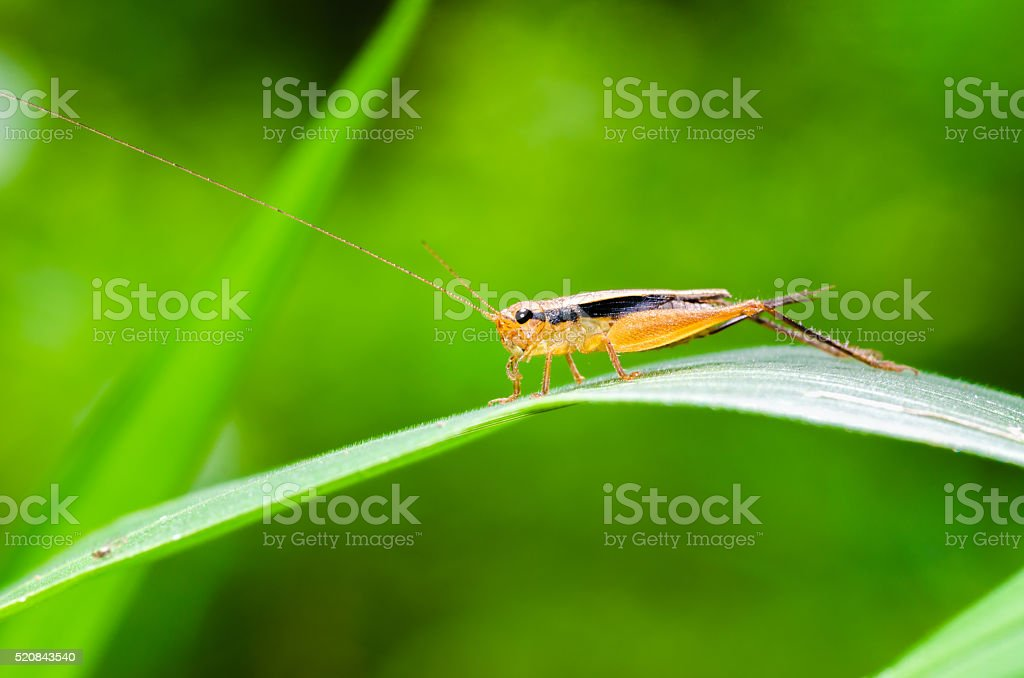 leaping chirping insect stock photo