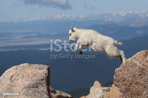 A mountain goat kid displays its agility and grace as it leaps from rock to rock on the top of Mt. Evans