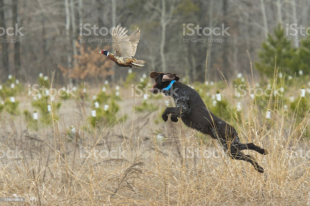 Leaping Hunting Dog stock photo
