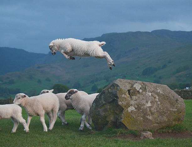 Leaping Lamb leaping lamb cumbria stock pictures, royalty-free photos & images