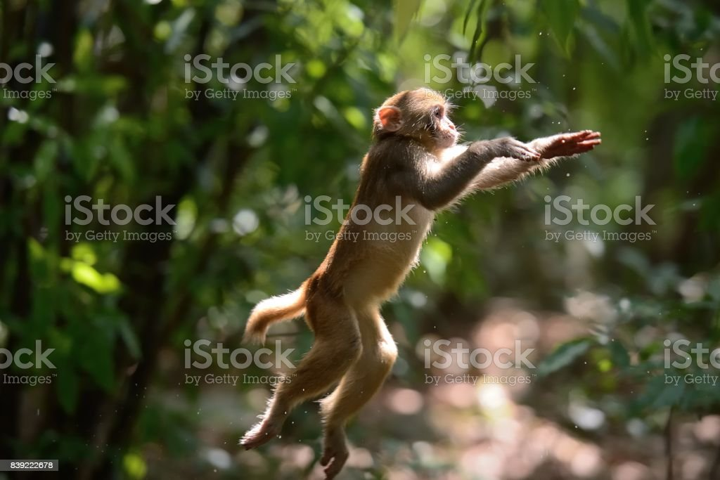 Leaping monkey in the woods stock photo