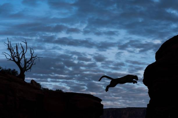 Leaping mountain lion picture id843478658?b=1&k=6&m=843478658&s=612x612&w=0&h=5oxn7b4omdsr8y9ijlj k5q50zhxcg0 eblubhcb6se=