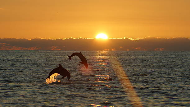 leaping pair 2 dolphins leaping at sunset near Sanibel Island Florida dolphin stock pictures, royalty-free photos & images