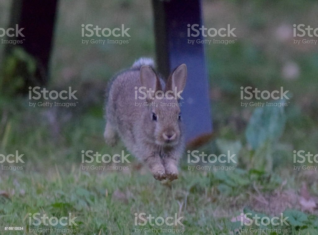 leaping running baby young wild rabbit animal close up