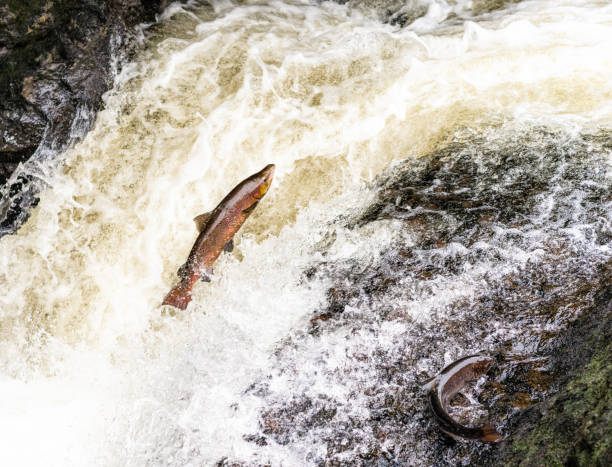 Leaping Salmon in Scotland A large Atlantic Salmon jumping up a waterfall on a river in Perthshire, trying to reach its spawning grounds, as another flounders on the rocks to the left. atlantic salmon stock pictures, royalty-free photos & images