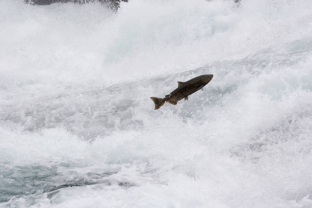 Leaping salmon, rushing river stock photo