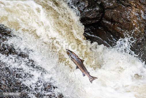 An atlantic salmon attempting to jump up a waterfall in the Scottish Highlands, on a journey to spawning grounds.