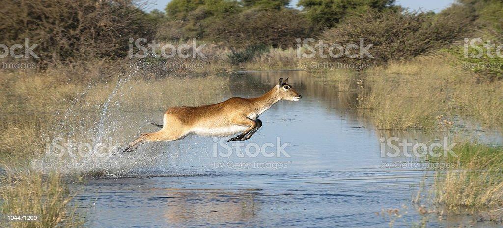 Leaping Southern (Red) Lechwe in the Okavango Delta, Botswana stock photo
