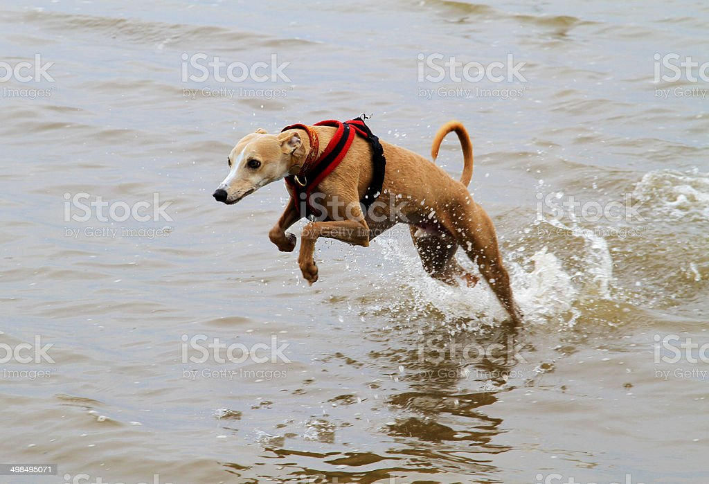 Leaping Whippet royalty-free stock photo