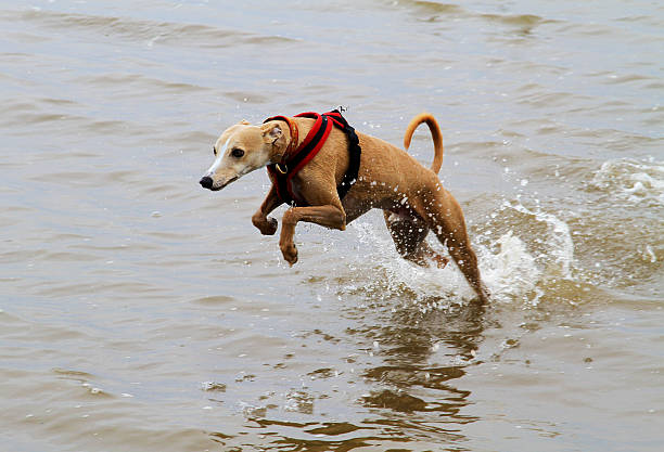 Leaping Whippet stock photo