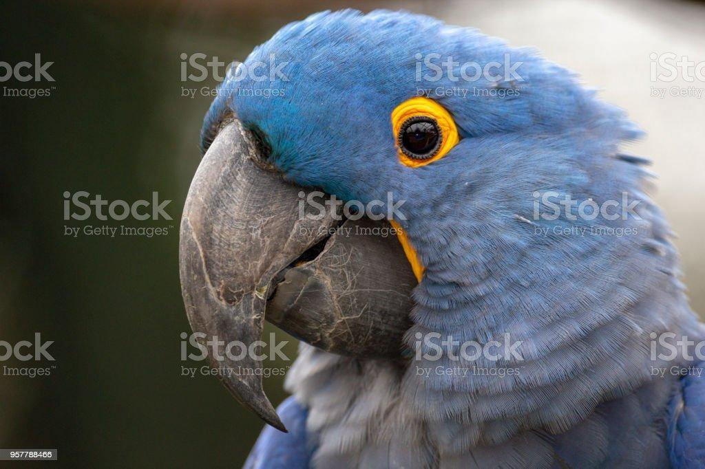 Lears Macaw (Anodorhynchus leari) stock photo