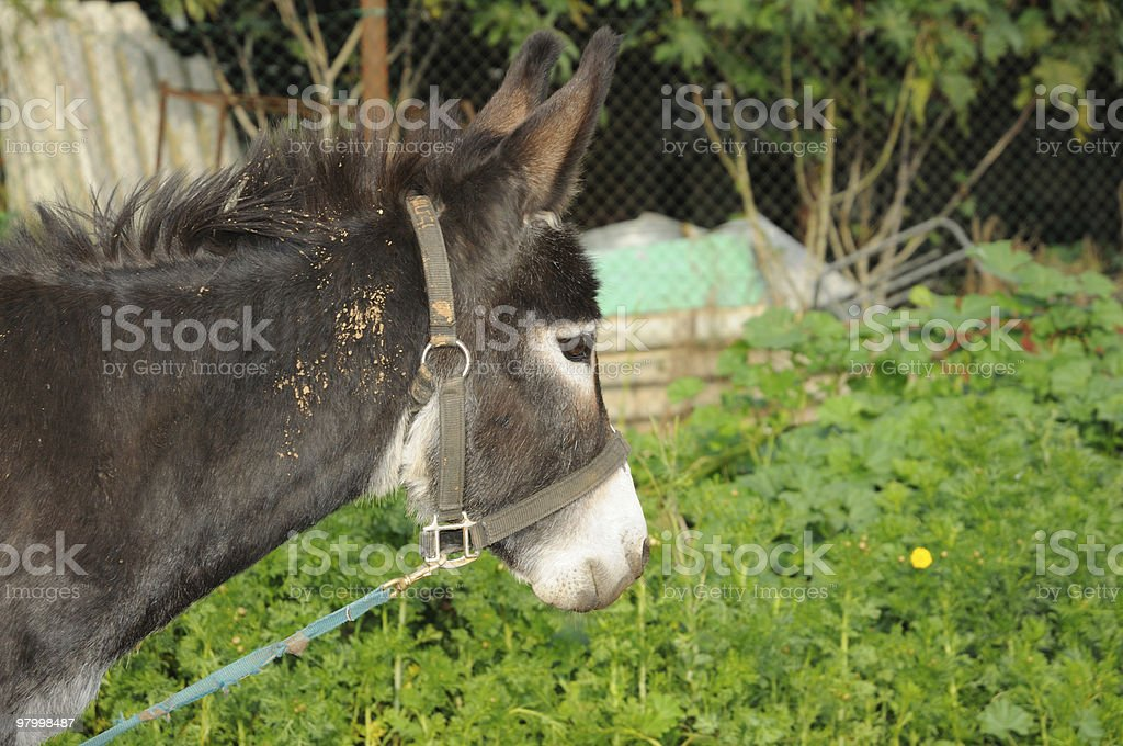 Leashed donkey royalty free stockfoto