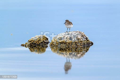 The Least Sandpiper (Calidris minutilla) is the smallest shorebird and the smallest member of the family of sandpipers (Scolopacidae). It breeds on the North American arctic tundra and winters in the southern United States and south through northern South America. This bird in winter plumage is on the Salton Sea in Imperial County, southern California.