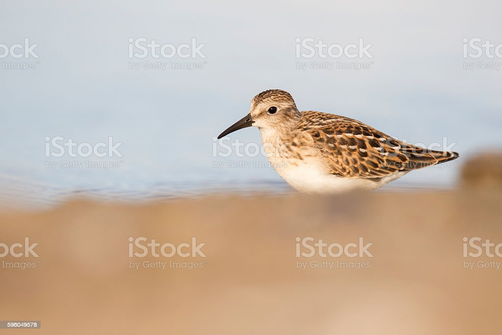 Least Sandpiper royalty-free stock photo