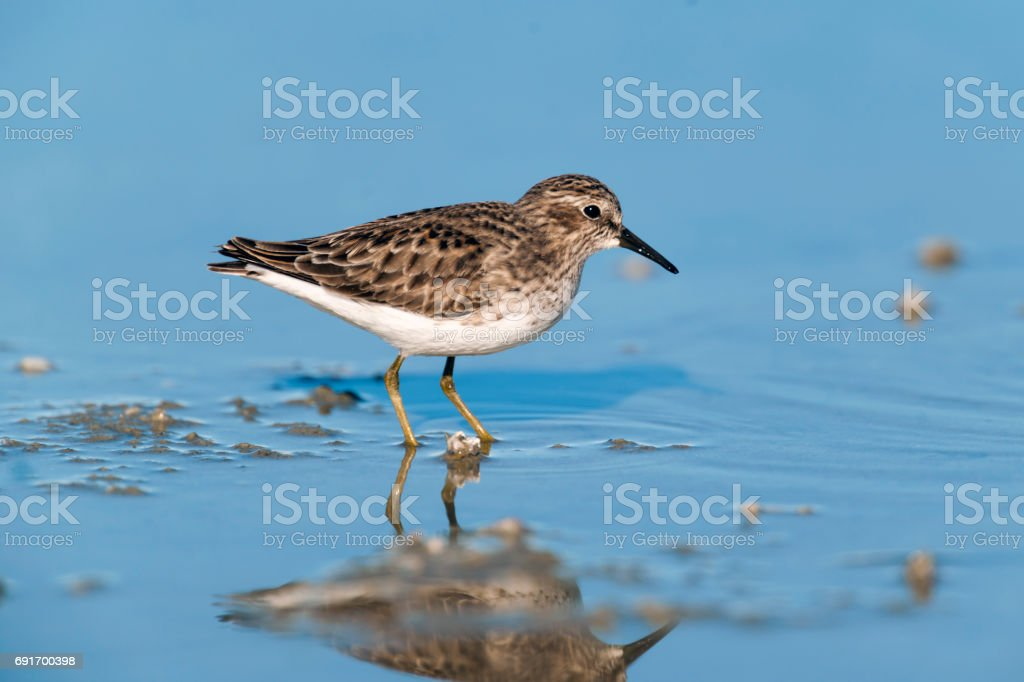 Least Sandpiper with Reflection stock photo