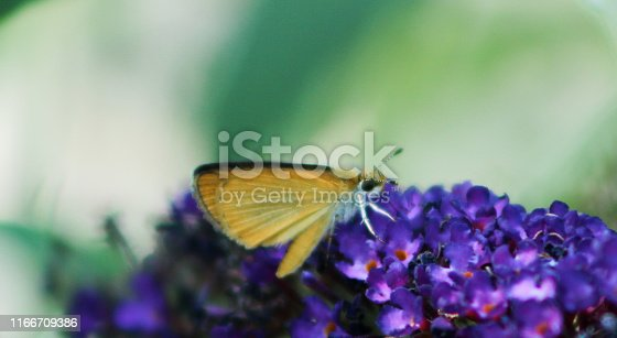 This least skipper was photographed in Michigan. The yellows of the insect contrast with the blues and purples of the flower.