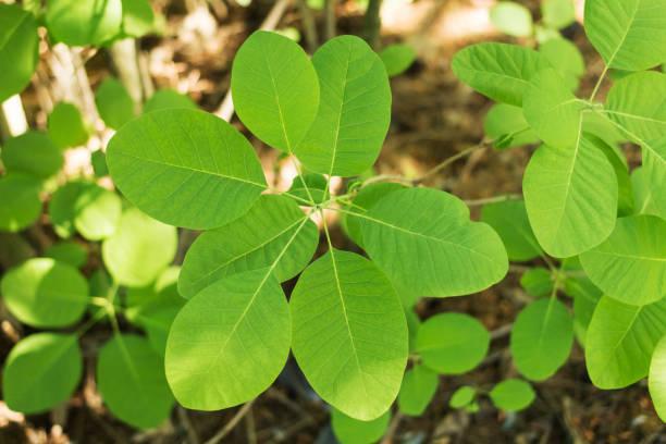 leder cotinus zierstrauch junge pflanze - perückenstrauch stock-fotos und bilder