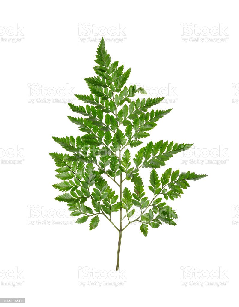 Leather Leaf Fern with stem on white background foto royalty-free