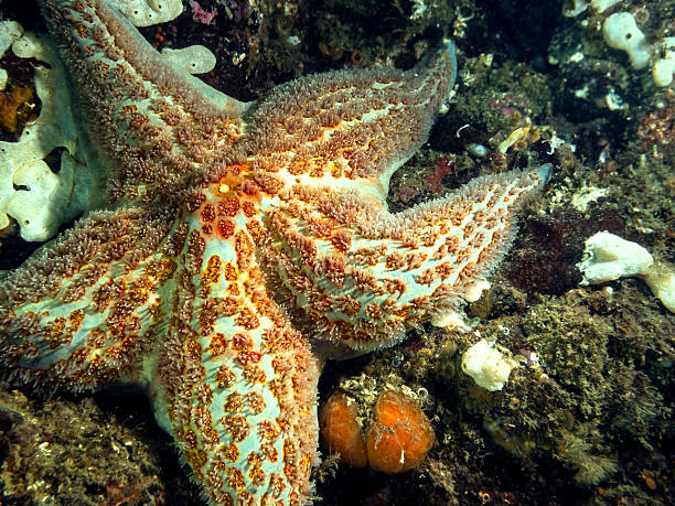leather star(dermasterias imbricata) - naturediver stock pictures, royalty-free photos & images