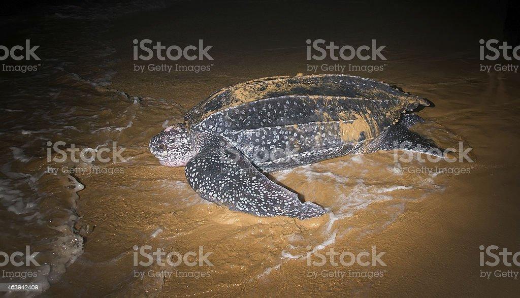 Tartaruga Leatherback Deporre le uova Ritornate sull'oceano - Foto stock royalty-free di Ambientazione esterna