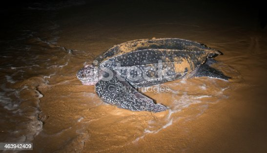 Leatherback Sea Turtle laying eggs after returning to the ocean
