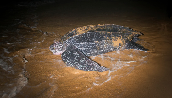 Tartaruga Leatherback Deporre Le Uova Ritornate Sulloceano - Fotografie stock e altre immagini di Ambientazione esterna