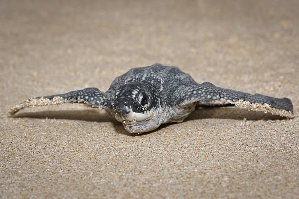leatherback sea turtle (dermochelys coriacea), newborn, front view - leatherback stockfoto's en -beelden