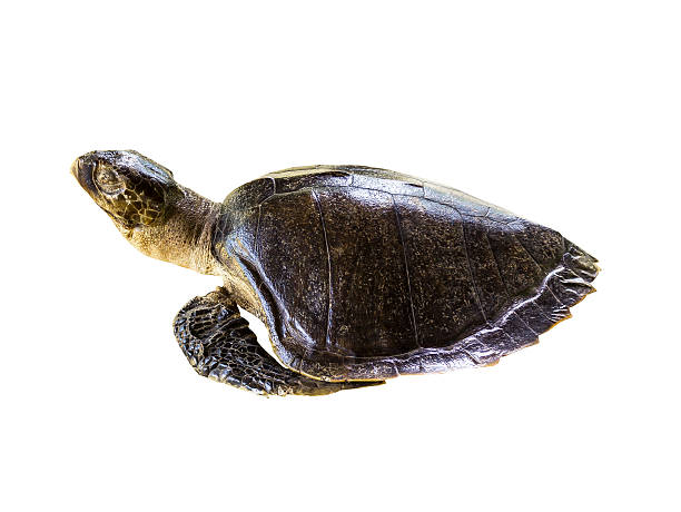 leatherback sea turtle on white - leatherback stockfoto's en -beelden