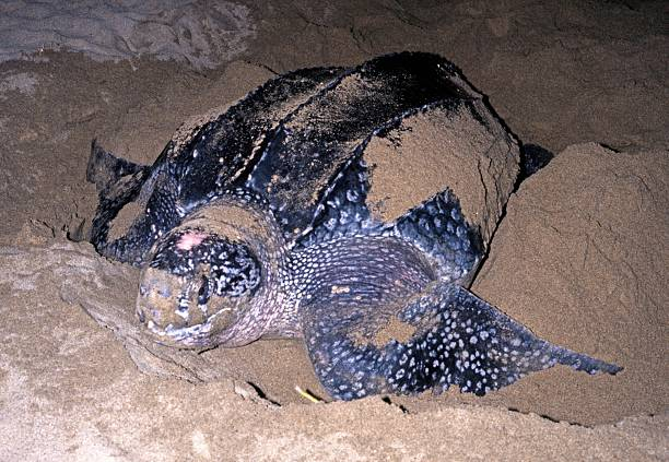 leatherback turtle on beach, tobago. - leatherback stockfoto's en -beelden