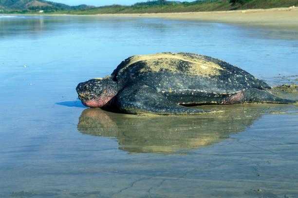 lederschildpad - leatherback stockfoto's en -beelden