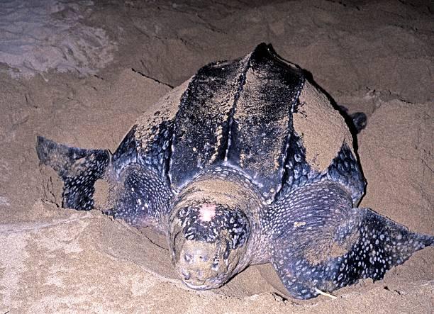 leatherback turtle, tobago. - leatherback stockfoto's en -beelden