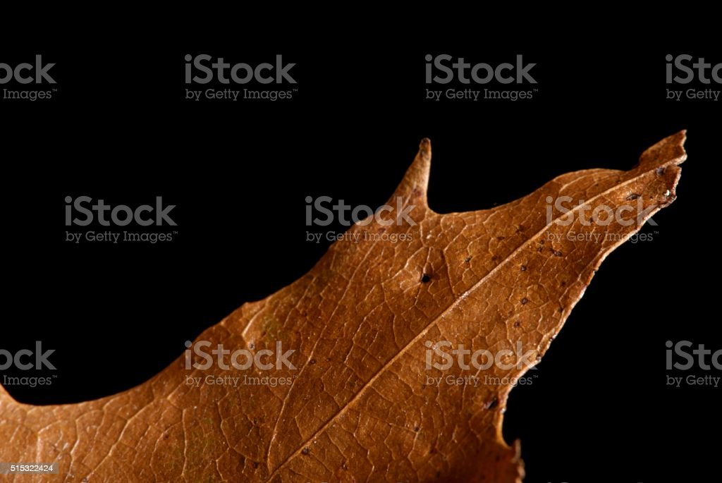 Leathery Leaf Detail stock photo