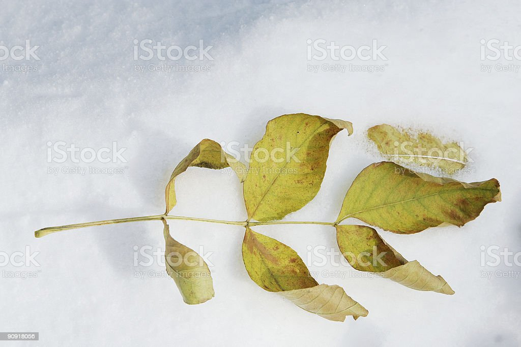 Leave in snow royalty-free stock photo