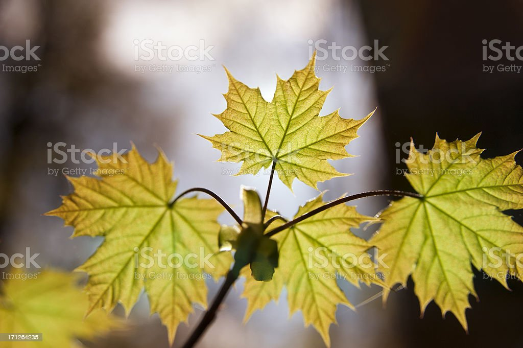 Leave of maple [genus Acer] in autumn stock photo
