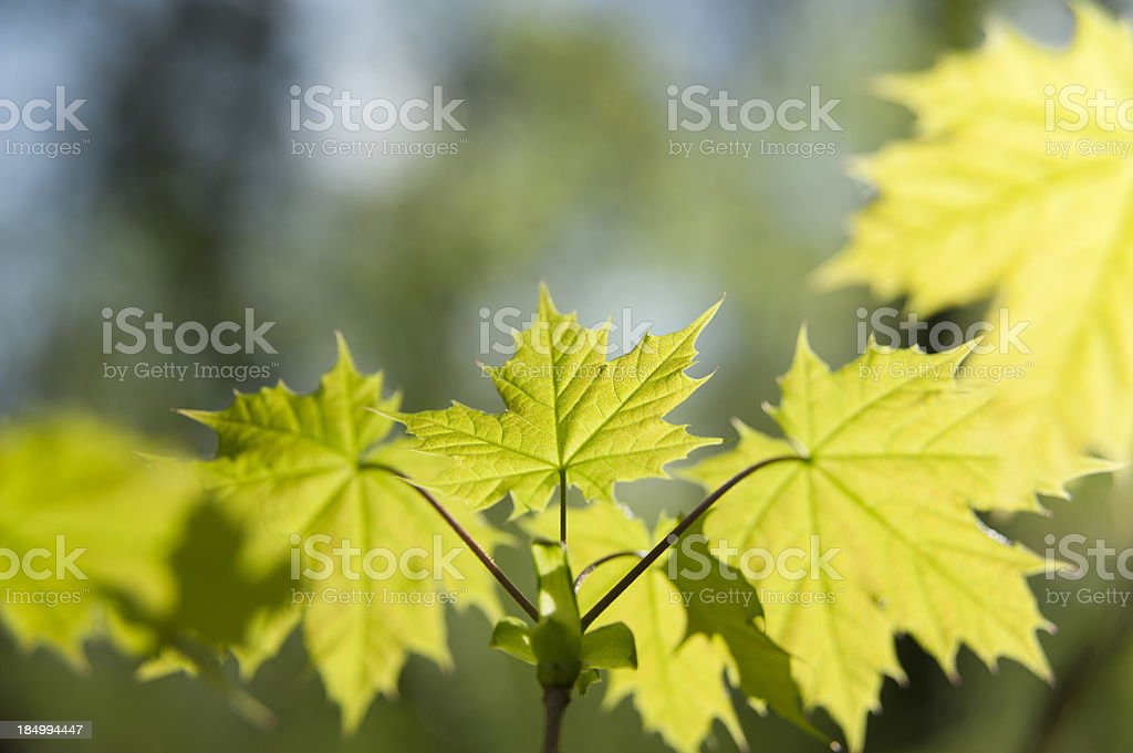 Leave of maple [genus Acer] stock photo