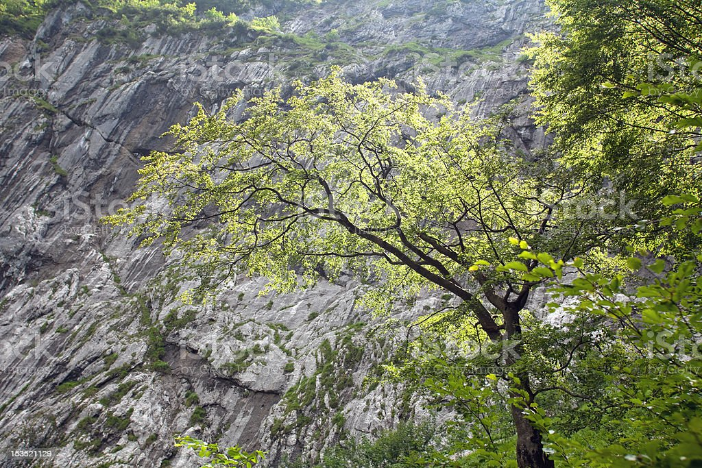 Leave Tree in front of a Rock Face, Wettersteingebirge royalty-free stock photo