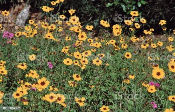 Photo of Leavenworth's Tickseed Wildflower (Coreopsis Leavenworthii)