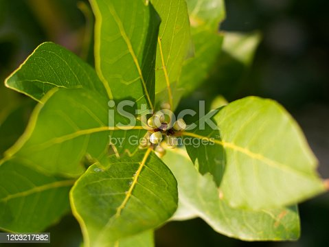 leaves and buds of a Laurel tree close up