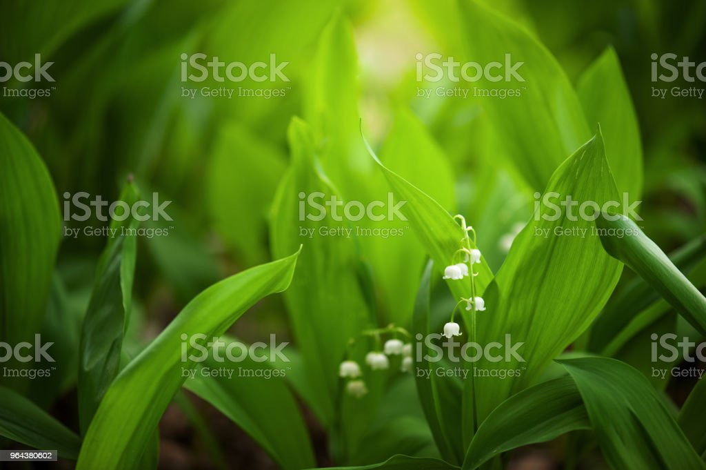 Folhas e flores de lírio-do-do-vale no jardim - Foto de stock de Abstrato royalty-free