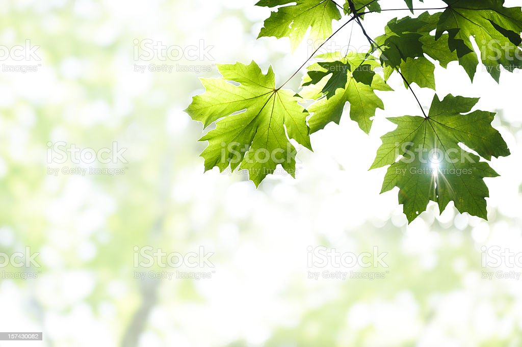 Leaves and Sunlight stock photo